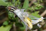Banded Garden Spider (Argiope trifasciata) wrapping grasshopper prey in web, Lexington Wildlife Management Area, Oklahoma, USA