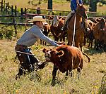 Cowboy Photography Workshop   Erickson Cattle Co. ..Will Bennett.. Photo by Al Golub/Golub Photography