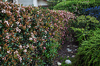 Raphiolepis indica evergren shrub hedge for privacy in California garden