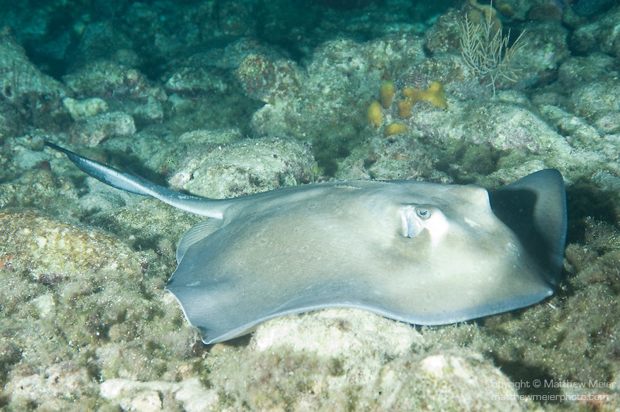 Bonaire, Netherlands Antilles; a Southern Stingray sits motionless on the bottom , Copyright © Matthew Meier, matthewmeierphoto.com All Rights Reserved