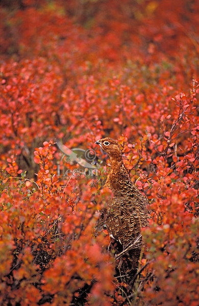 Willow Ptarmigan. Camouflage against Willow leaves. Late August. Denali National Park, Alaska. (Lagopus lagopus).