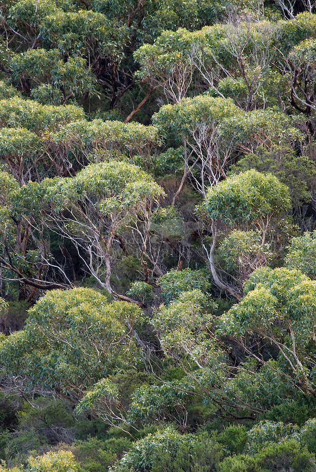 Eucalyptus forest in Southwest Australia