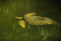 Galápagos green turtle (Chelonia mydas agassisi) Santa Cruz island, Galapagos, Ecuador.