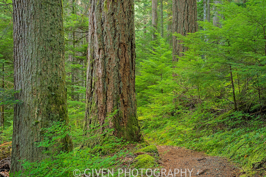 Trail in old-growth forest, Mt. Baker/Snoqualmie National Forest, Washington