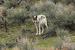 Wolf among sagebrush in Yellowstone National Park.