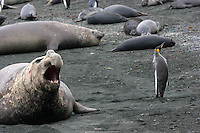 Southern Elephant Seal with King Penguin on Macquarie Island, Antarctica