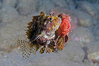 Shortfin Lionfish or Dwarf Lionfish, Dendrochirus brachypterus, pair, mating, Dumaguete, Philippines, Pacific Ocean