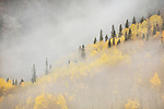 Clouds envelope a mountainside of Aspen trees in their autumn splendor prior to an approaching snowstorm that will signal a transition of seasons, Colorado, USA. Note the contrast between deciduous and conifer or evergreen forest trees.
