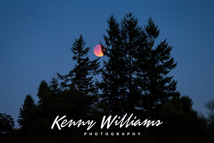Rare Red Supermoon Lunar Eclipse 2015 rising through pine trees, Soos Creek Park, Kent, Washington State, WA, America, USA.