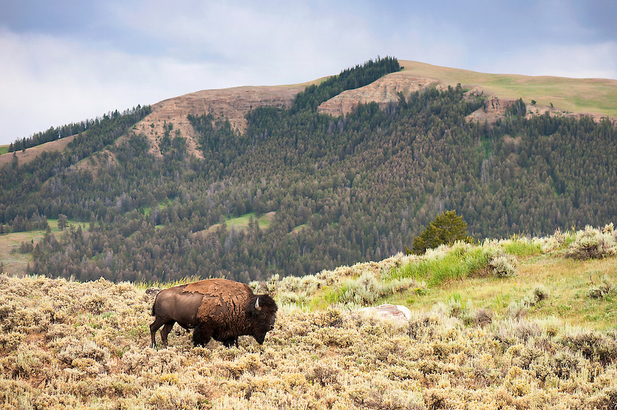 A bison grazes on Blacktail Deer Plateau in Yellowstone National Park.