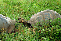 The Galápagos tortoise (Chelonoidis nigra) is the largest species of tortoise in the world, reaching weights of over 880 lb; and can live over 100 years in the wild. They are herbivores that consume a diet of cacti, grasses, leaves, lichens, and berries.
