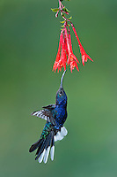 Violet Sabrewing (Campylopterus hemileucurus), Found from Southern Mexico south to Panama.  This photo taken in Costa Rica.