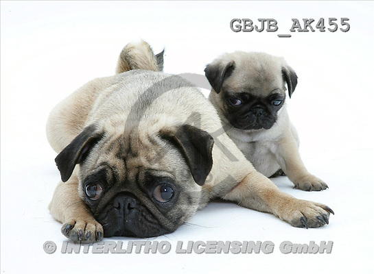 Kim, ANIMALS, fondless, photos, pug with pup(GBJBAK455,#A#) Tiere ohne Fond, animales sind fondo