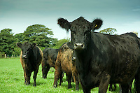 Galloway beef cattle, Isle of Man....Copyright..John Eveson, Dinkling Green Farm, Whitewell, Clitheroe, Lancashire. BB7 3BN.01995 61280. 07973 482705.j.r.eveson@btinternet.com.www.johneveson.com
