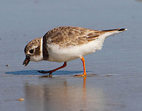 Piping plover in winter plumage eating