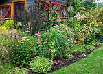 Vashon-Maury Island, WA: Summer perennial garden and potting shed featuring barberries, echinacea, roses, sedum, persicaria and lilies