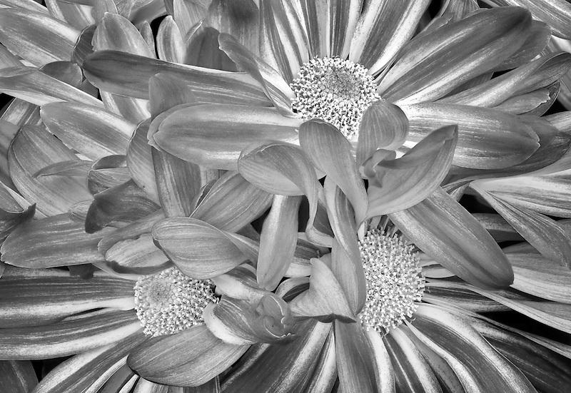 Close up of Chrysanthemum.