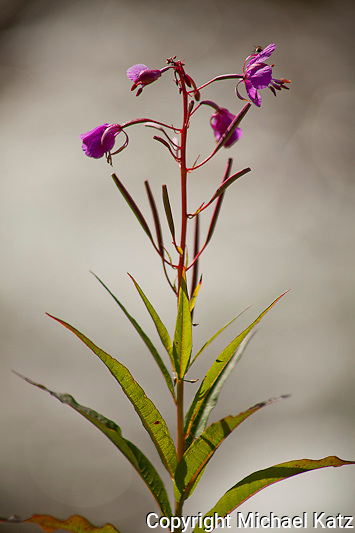 Fireweed and Mist