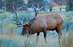 Bull Elk at Dawn, Mammoth Hot Springs, Yellowstone National Park, Wyoming