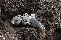 Dreizehenmöwe, Altvogel mit 2 Küken im Nest, Dreizehen-Möwe, Möwe, Dreizehenmöve, Rissa tridactyla, kittiwake, Vogelfelsen, Vogelfels