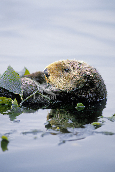 Sea Otter resting in kelp.  Sea Otters frequently wrap up in kelp while sleeping or resting to keep from drifting with the tidal current. Aleutian Islands, Alaska