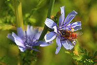A honeybee at work, its legs full of pollen. Argentina, unlike the rest of Latin America, has preserved a pure stock of Italian bees (Apis mellifera ligustica).