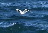"06 August 2017 - Seal Island, Maine - Red-billed Tropicbird. ""Seal Island, part of the Maine Coastal Island National Wildlife Refuge is the summer home to a single rare Red-billed Tropicbird. Why this tropical seabird has made the coast of Maine its summer home for the last 12 years is a mystery. A red-billed tropicbird hung around a headland on Martha's Vineyard in the 1980's and a white-tailed tropicbird was spotted at a southern California headland back in 1964. This bird has a thick red bill, black wingtips, and black scalloping on the back and inner wings. Tropicbirds are an ancient lineage of birds with no close relatives. They are birds of the sea often seen flying high over the ocean or behind ships. Tropicbirds feed on fish, typically diving into the upper layers of the water to catch them. The closest red-billed tropicbird nesting islands are in the Caribbean in Puerto Rico. Photo Credit: Laura Farr/AdMedia"