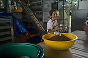 40 year old worker, Yani sorts out the dried and baked maggots at the pilot project farm involving maggot production in village Kundang, at the outskirts of capital Kuala Lumpur, Malaysia.