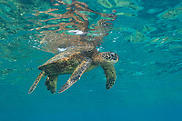 green sea turtle or honu, Chelonia mydas, floating just under the water surface, Honaunau, Kona, Big Island, Hawaii, USA, Pacific Ocean