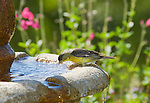 Male lesser goldfinch, Carduelis psaltria. Drinking from a backyard fountain in the Santa Cruz Mountains, California