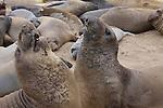 Molting bull elephant seals