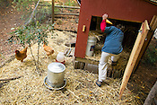 Jones, 11, Zan, 7, Boykin and Greg Bell among their flock of urban chickens in Chapel Hill, Monday, October 29, 2007.