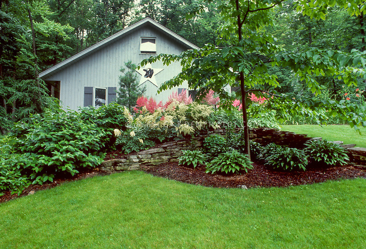 Mulched tidy garden bed landscaping with hostas under tree in shade, astilbe white and pink in flower in late spring, lawn grass, curved edging, stone wall, house, dogwood Cornus tree, scene view