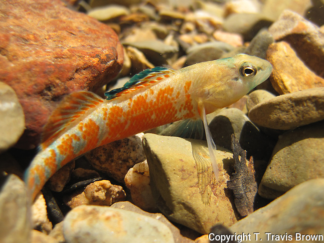 Orangethroat Darter (Etheostoma spectabile) with Ridiculous Amount of Orange