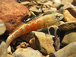 Orangethroat Darter (Etheostoma spectabile) with Ridiculous Amount of Orange