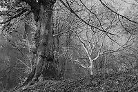 American Beech Tree, Oregon