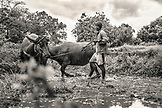 INDONESIA, Flores, a man walks his cows in circles through the mud to prepare his paddocks for planting rice, Dintor village