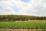 Israel, Shephelah, a vineyard by Masua forest