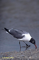 1Z02-017x  Laughing Gull - eating horseshoe crab eggs - Larus atricilla