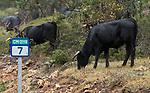 Primer dia de trashumancia de la ganaderia de reses bravas de Alicia Chico en 2018.<br /> <br /> 20 de noviembre de 2018.<br /> <br /> Consulta sobre copias en papel en if_fotografo@yahoo.es