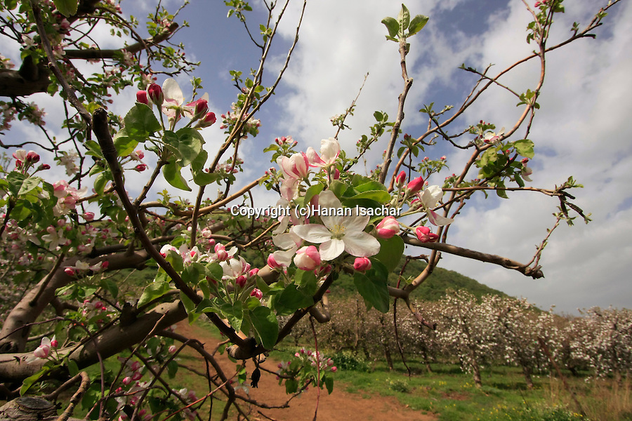Golan Heights, Apple orchard by Mount Bental