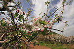 Apple orchard in the Golan Heights