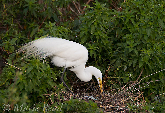 Great Egret (Ardea alba) at its nest, three blue eggs visible, Brandon, Florida, USA