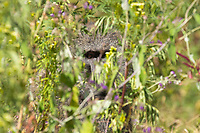 A male Olive Baboon, Papio anubis, peers out from behind a bush in Ngorongoro Crater, Ngorongoro Conservation Area, Tanzania