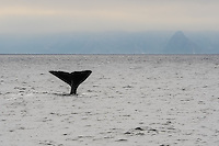 Norway, Vesteraalen. Whale safari from Stø in Vesterålen, in the area of Bleik Canyon outside Andøya. Sperm whale.