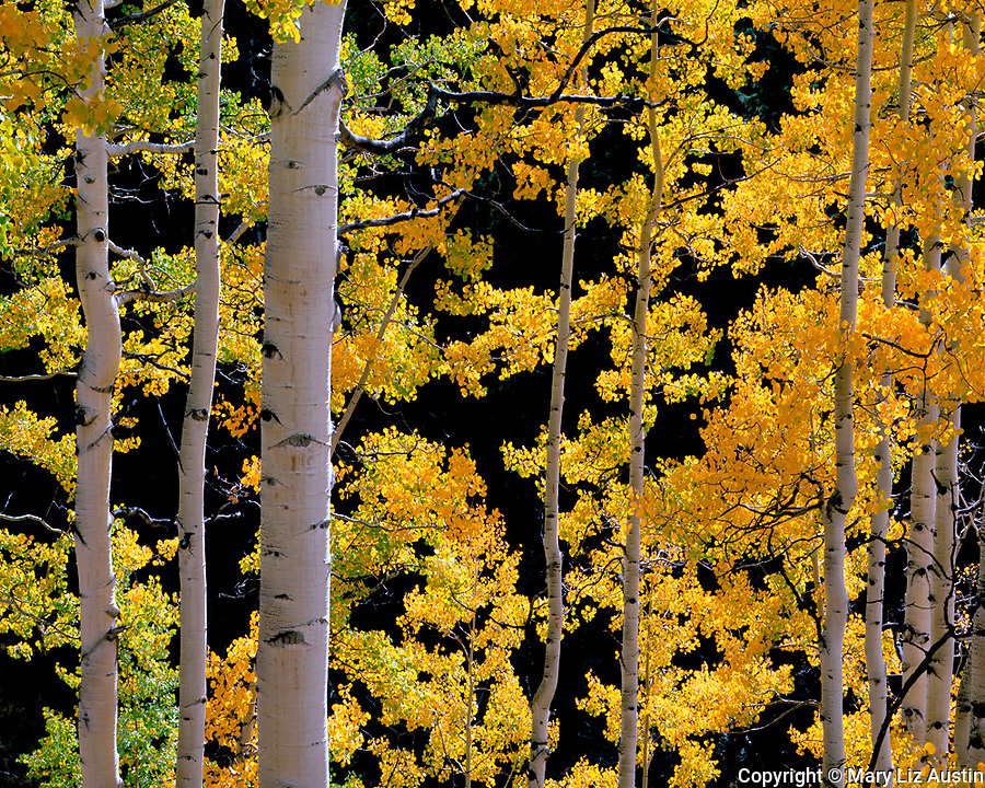 Uncompahgre National Forest, CO<br /> <br /> Back lit autumn colored aspen (Populus tremuloides) grove near Owl Creek Pass