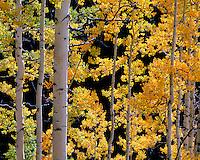 Uncompahgre National Forest, CO<br /> <br /> Back lit autumn colored aspen (Populus tremuloides) grove near Owl Creek Pass