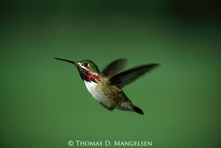 Portrait of a male calliope hummingbird in flight in Grand Teton National Park, Wyoming.