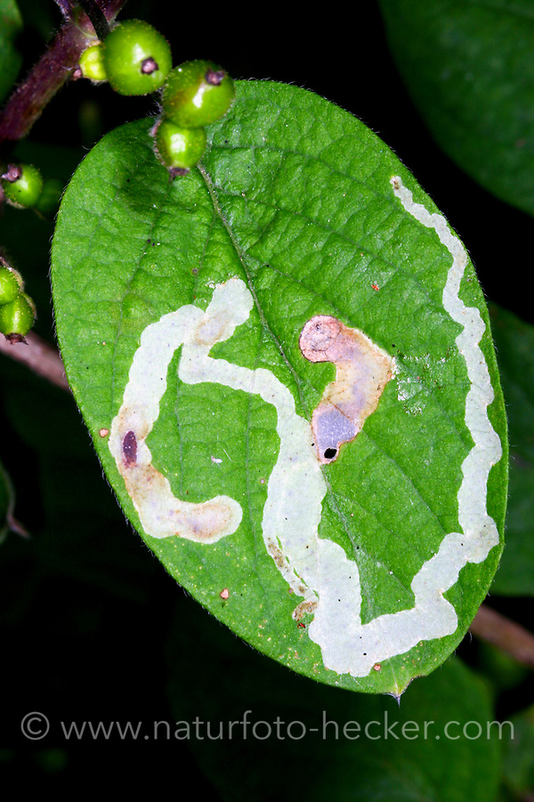 Geißblattminierfliege, Geißblatt-Minierfliege, Lonicera-Minierfliege, Heckenkirschen-Minierfliege, Minierfliege, Blattminierfliege, Fraßspur in einem Blatt, Phytomyza xylostei, Napomyza xylostei, Phytagromyza xylostei, Minierfliegen, Minierer, Blattminierfliegen, Blattminierer, leaf miner, leaf mines