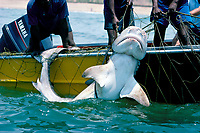 3-meter tiger shark, Galeocerdo cuvier, removed from anti-shark net off Durban Beach, Natal Coast, South Africa
